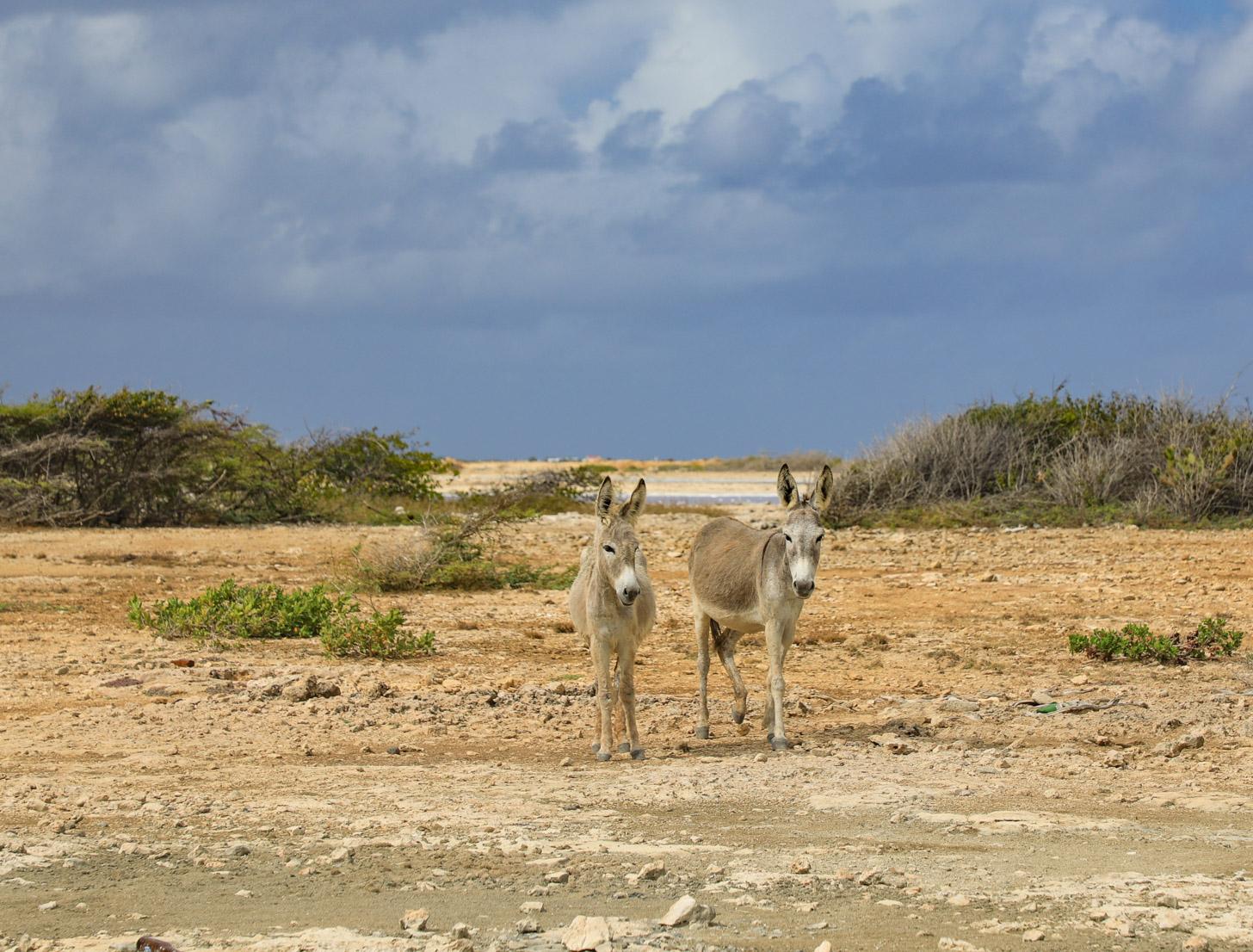 wilde ezels op Bonaire